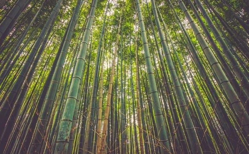 Tongkat Emas di Tengah Hutan Bambu